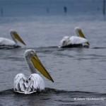 Αργυροπελεκάνοι στη λίμνη Κερκίνη (Αρχείο Ορνιθολογικής / Nick Bedau)
