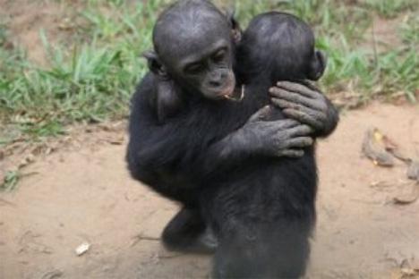 Οι χιμπατζήδες παρηγορούν τους φίλους τους όπως οι άνθρωποι
