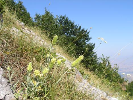 Δύο από τα πιο γνωστά αρωματικά-φαρμακευτικά φυτά της χώρας μας σε άγρια μορφή. Η ρίγανη και ο σιδερίτης, το γνωστό σε όλους μας τσάι του βουνού. Πάνω από 1.000 είδη φυτών απαντώνται μόνο στην Ελλάδα.