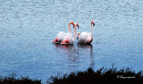 flamingo_2
