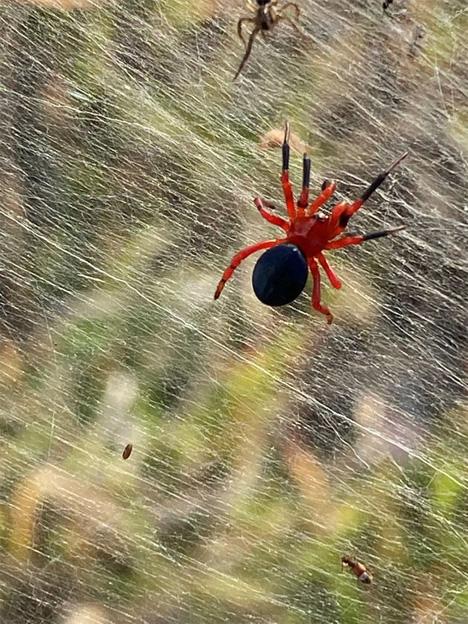 Μια εικόνα από τα μέσα κοινωνικής δικτύωσης δείχνει την κόκκινη και μαύρη αράχνη κοντά σε υγρότοπους στο Λόνγκφορντ, Βικτώρια. - REUTERS
