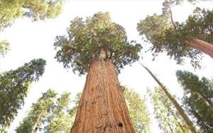 Η εικονιζόμενη σεκόγια είναι το μεγαλύτερο δέντρο στον κόσμο και κινδυνεύει άμεσα από πυρκαγιά που έχει ξεσπάσει στο δάσος της. - photo Wikimedia Common